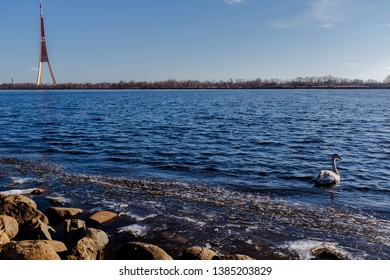 RIGA, LATVIA - MARCH 24, 2018: White swan swimming in river Daugava near Riga TV tower on a sunny spring day.
