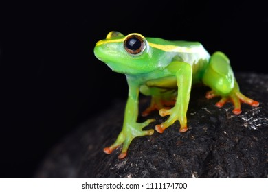 Riggenbach's reed frog (Hyperolius riggenbachi) is found in the Bamenda highlands of Cameroon.
