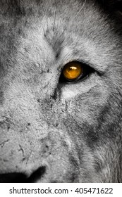 Right side of a lion face