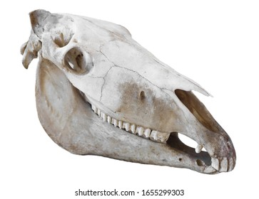 Right side of the skull horse (Equus caballus) with lower and upper jaw. Isolated on white
