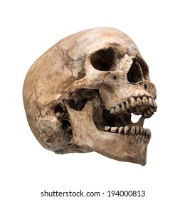 Right side view of human skull open mouth on isolated white background