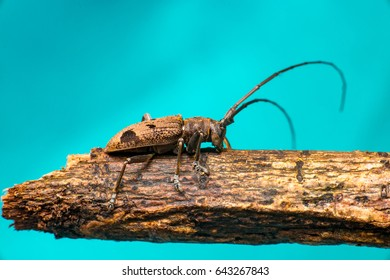 Right view of brown Spined Oak Borer Longhorn Beetle (Arthropoda: Insecta: Coleoptera: Cerambycidae: Elaphidion mucronatum) crawling on a tree branch isolated with buttery, smooth, blue background