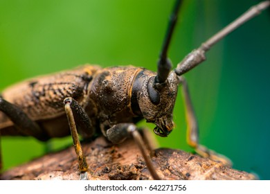 Right view of Spined Oak Borer Longhorn Beetle (Arthropoda: Insecta: Coleoptera: Cerambycidae: Elaphidion mucronatum) crawling on a tree branch isolated with buttery, smooth, green background