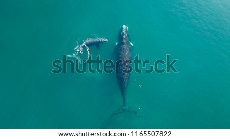 Right Whale swimming in the atlantic ocean