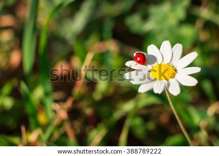 right white daisy flower ladybug on の写真素材 今すぐ編集