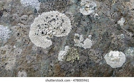 Rim lichen (Lecanora sp.) with white crustose thallus and black apothecia growing on textured maritime rock along the coast of Llanddwyn Island, Anglesey, Wales.