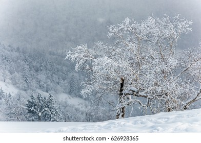Rime on the cedar trees, shot in the Tu'ding mountain, which is located between Harbin and the Snow Village in Hei'longjiang Province, northeast of China.
