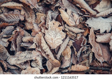 Rime on oak leaves, autumn - winter background