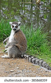 Rin- tailed lemur in a Zoo