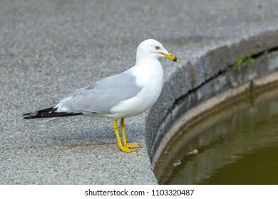 Ring billed gull, larus delawarensis, on a cement path at Manito Park in Spokane, Washington.
