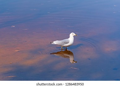 Ring Billed Gull and its Reflection on Arrowhead Lake in Aroowhead Provincial Park in Ontario
