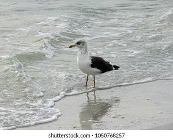 Ring Billed Gull Shorebird on beach Sanibel Florida