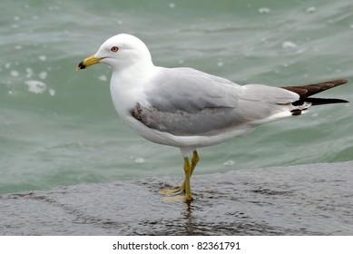 Ring Billed Gull,Lake Ontario,Canada
