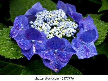 Ring of Hydrangea flowers in blue with white and blue buds in the center