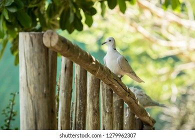Ring necked dove landing and sitting on a wooden railing before flying off into a tree with thick foilage