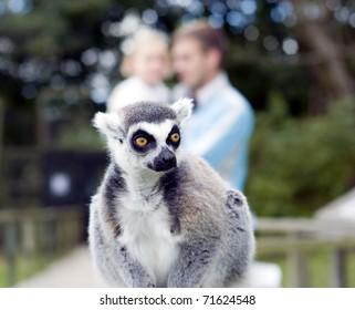 Ring Tail Lemur at Blackpool Zoo