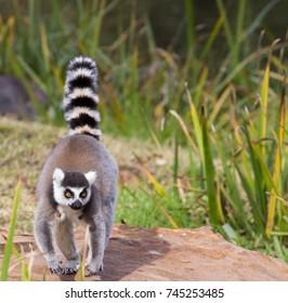 A ring tail lemur walking on a rock