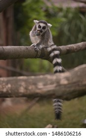 Ring tailed lemur animal portrait with tail.