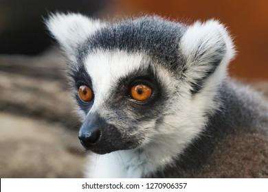Ring tailed Lemur (Lemur catta) close up portrait