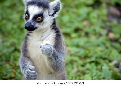 Ring tailed lemur, Lemur catta close up portrait.