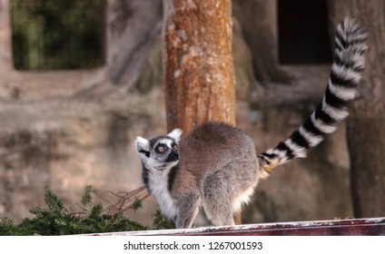 Ring tailed lemur Lemur catta is a threatened species found in Madagascar