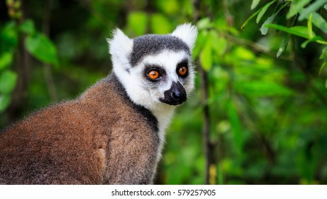 Ring tailed lemur in close up in the forest of Madagascar