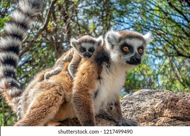 Ring Tailed Lemur  ,Close up Ring-tailed lemur baby and mother, mother breastfeeding her baby. Wild nature Magdagascar