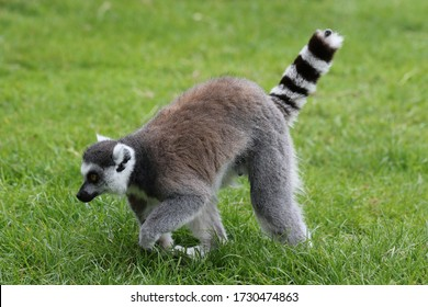 ring tailed lemur in its habitat