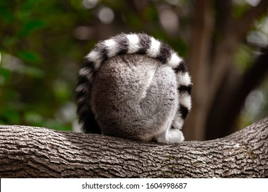 Ring tailed lemur. Is a large strepsirrhine primate and the most recognized lemur due to its long, black and white ringed tail. It belongs to Lemuridae, one of five lemur families