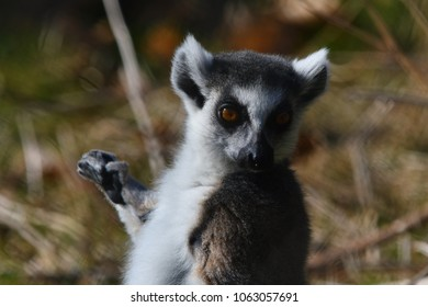 Ring tailed lemur - Lemuridae, Lemur catta