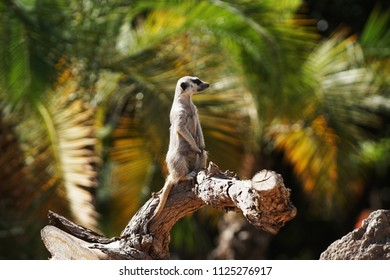 Ring tailed lemur monkey sitting on tree