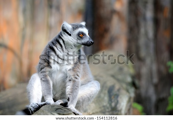 Ring tailed lemur on a branch