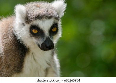 A Ring Tailed Lemur in profile
