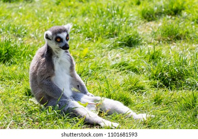 Ring tailed lemur sitting on the grass