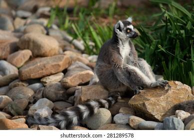 A Ring Tailed Lemur sitting on rocks