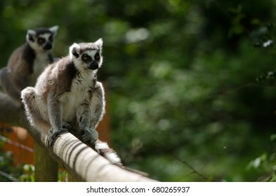 A Ring Tailed Lemur stalks its territory