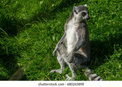 A Ring Tailed Lemur takes a look around