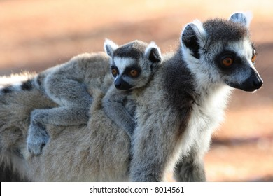 Ring tailed lemurs and their babies at Berenty
