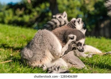 Ring tailed Maki Catta lemur  . Madagascar lemur scratches its ear.