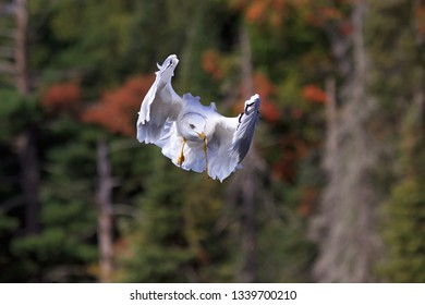 A ring-billed gull appears to plays peek-a-boo while floating in front of a forest of pines trees.