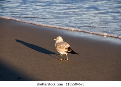 Ring-billed gull casting a long shadow as the sun goes down at Myrtle Beach South Carolina.
