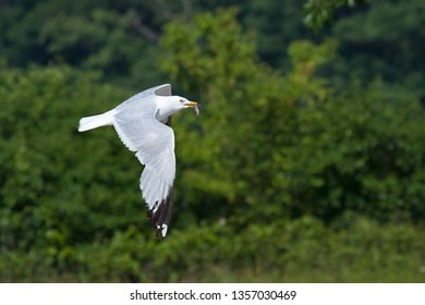 A ring-billed gull flies holding a fish in its beak. Flapping its white and gray feathers, it circles the green trees looking for a place to dine.