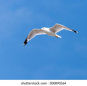 Ring-billed Gull in Flight on Blue Sky