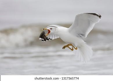 Ring-billed Gull (Larus delawarensis) calling as it prepares to land - Jekyll Island, Georgia