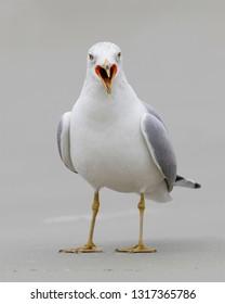 Ring-billed Gull (Larus delawarensis) calling - Jekyll Island, Georgia
