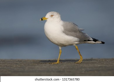 Ring-billed Gull (Larus delawarensis) foraging on a beach - Jekyll Island, Georgia