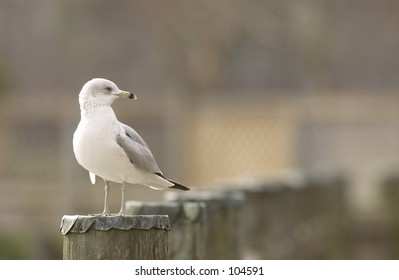 Ring-billed Gull (Larus delawarensis) on post