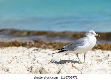 Ring-Billed Gull (Larus Delawarensis) on a beach in the Bahamas. Yellow bill with dark ring, grey and white plumage, dark primaries.