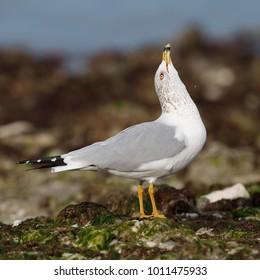 Ring-billed Gull (Larus delawarensis) raising its head in a territorial display - Dunedin, Florida