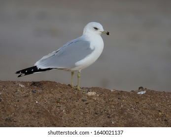 Ring-billed gull, Larus delawarensis, Single bird on ground, Baja California, Mexico, January 2020
